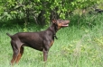 Doberman Pinscher, 1 year, Red